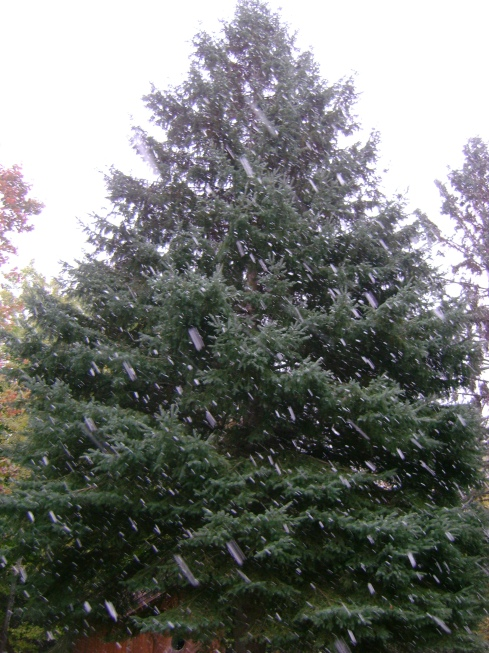 Snow against the spruce tree