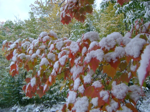 Red-orange leaves heavy in the snow