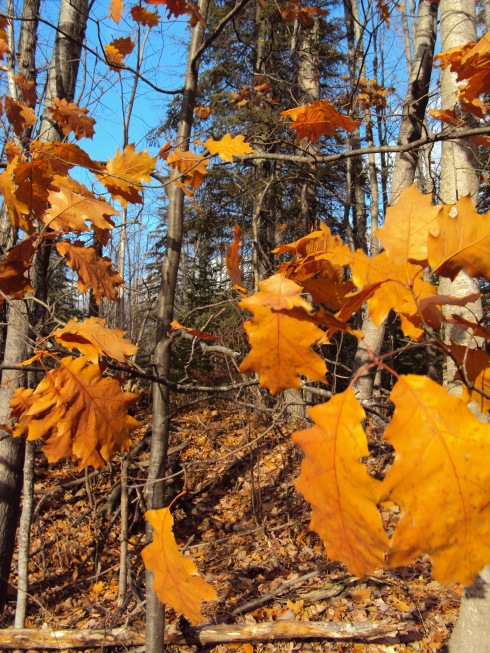 Vibrant oak leaves...last to go...
