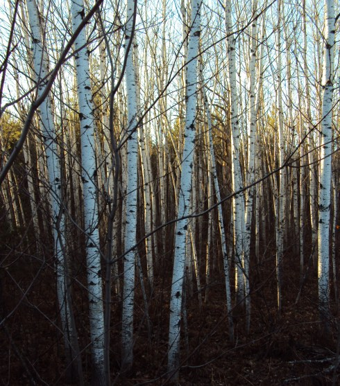 Aspen grove in sunlight