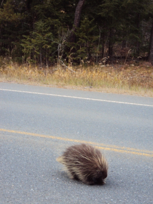 Approaching porcupine!  Stop the car!  Try to get a photo!
